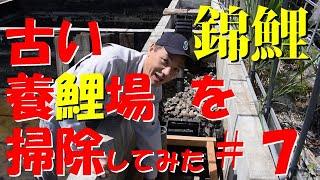 錦鯉 古い養鯉場を掃除してみた #7 Let's Try To Cleaning Old Koi Farm ! #7