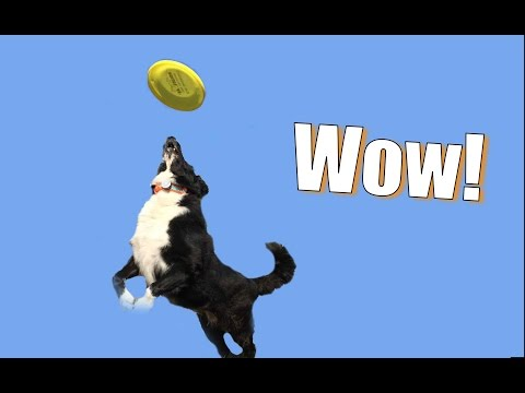 Go to the Next Level: Teach Your Dog to Be a Frisbee Superstar!
