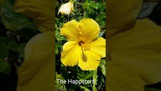 Hawaiian State Flower #shorts Yellow Hibiscus @The Happsters