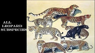 Leopard Subspecies - Leopard Of The World