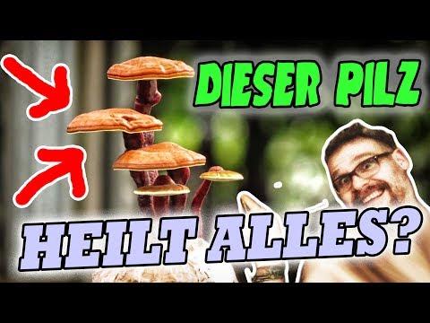 Reishi Pilz Erfahrungen 🍄 Das Heilmittel Ganoderma lucidum unter der Lupe!