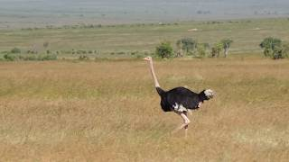 Wild Ostrich seen in a countryside field