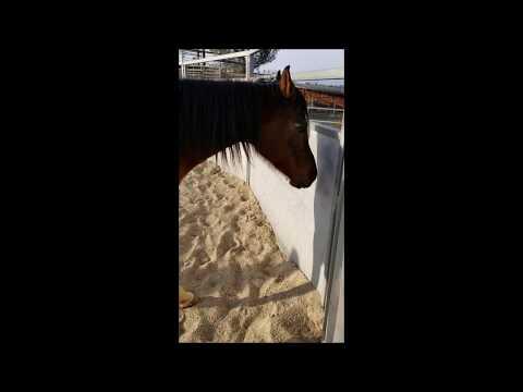 Khnight Serenade, an adoptable Arabian in Sylmar, CA_image-1