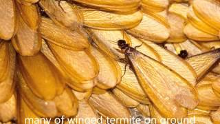 How to Tell if You Have Termites   Identifying Termites