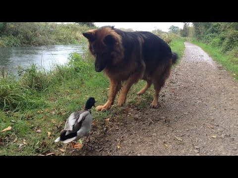Just A Duck Playing With A Dog...