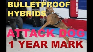 building the bulletproof hybrid attack dog k9 dog training bite protection dogs