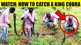 How to catch a King Cobra | Indian King Cobra Snake