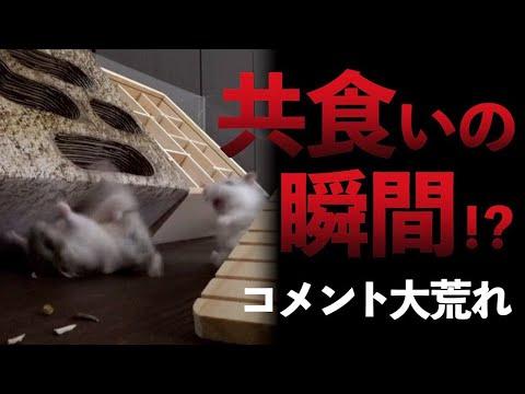 , title : '【ハムスター共食い】命を粗末にしてしまった動画!グロ注意