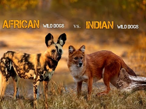 African Wild Dog Vs Indian Wild Dog