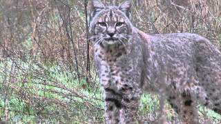 Bobcat Called within 10 Feet