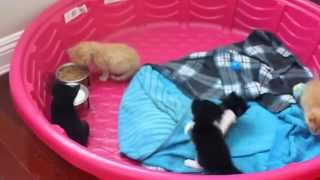 HOW TO WEAN KITTENS.