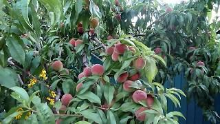 Собираем урожай персика