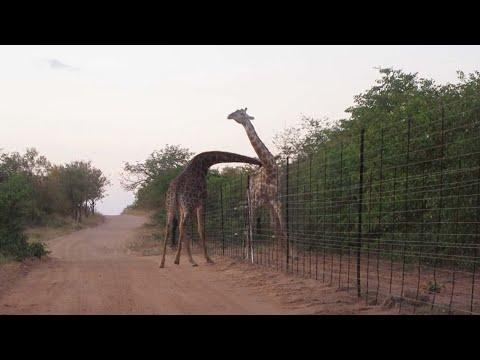 Драка жирафов
