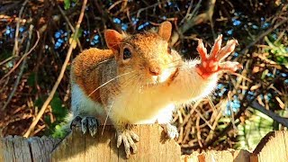 Pregnant Squirrel Craves Peanuts