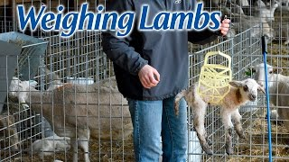 Weighing Lambs