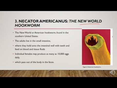 Bélférgek pinworms tünetek