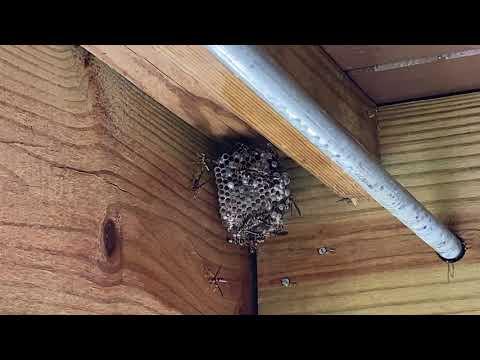Paper Wasp Nest Found Under the Porch in Gladstone, NJ