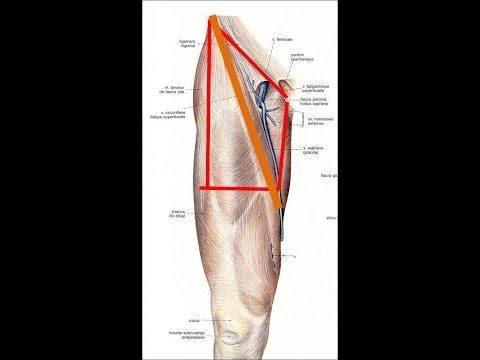 Lanatomie des muscles du dos et la biomécanique