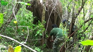 A Beautiful Elephant saved from a wire trap cable