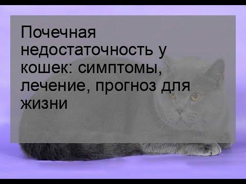 Почечная недостаточность у кошек: симптомы, лечение, прогноз для жизни