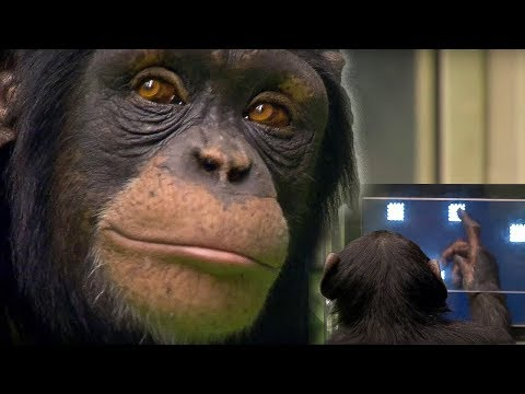 Monkey E-cards, Ayumu the chimpanzee has made headlines around..