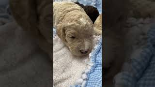 Double Doodle Puppies Videos
