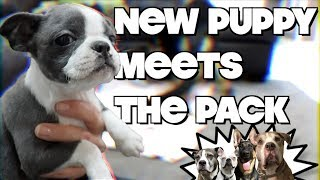 Baby Boston Terrier Puppy Meets The Pack CUTE