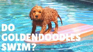 Can Goldendoodles Swim? Do Goldendoodles Like Water?