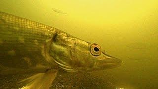 Кориандр для рыбалки леща