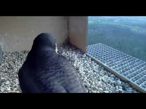 Peregine Falcons: Morning Changeover with Prey - 31.03.17