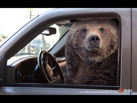 Ako šoféruje medveď | Enviro bear