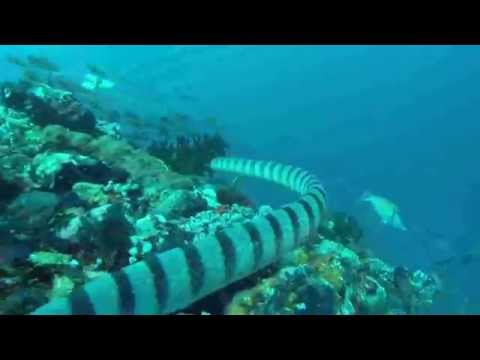 Seeschlange, Cocktail Divers Sabang Beach Mindoro,Philippinen