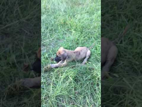 Puppies playing in the tall grass