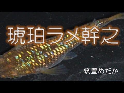 [筑豊めだか] 琥珀ラメ幹之 (虹色ラメ幹之)
