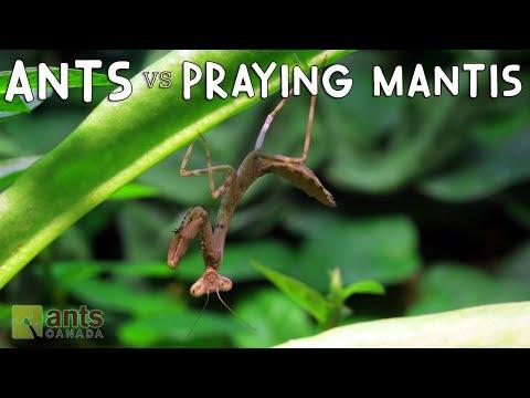 Thyme langis mula sa mga worm