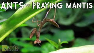 ANTS vs PRAYING MANTIS