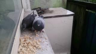 Кормим голубей