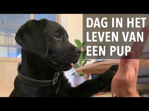 Dag in het leven van een labrador puppy - Kip aflevering 6 - Week 12