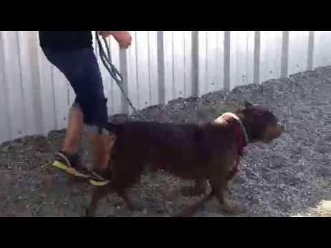 Morty, an adoptable American Staffordshire Terrier & English Bulldog Mix in Pasadena, CA
