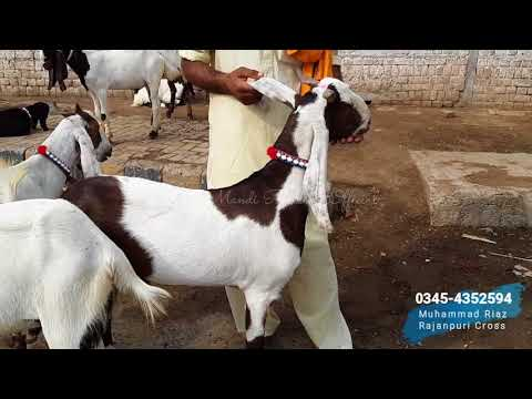 Bakra Mandi - RAMZAN SASTA HA ? Kamori Goat - Nawabshah Goat