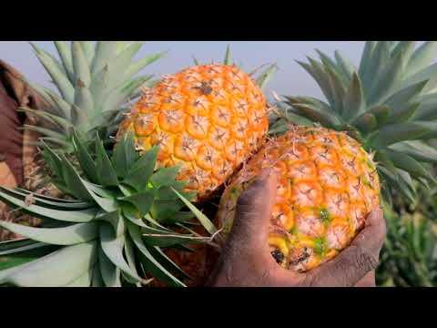 Hackathon De Solutions Digitales Pour Une Filière Ananas Performante:  Enabel Pour Une Amélioration Des Performances Des Agri-Entrepreneurs