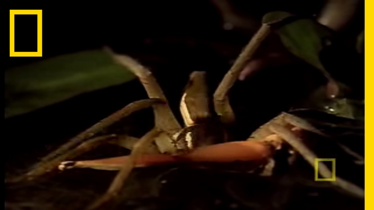 Spider Eats Frog! | National Geographic thumbnail