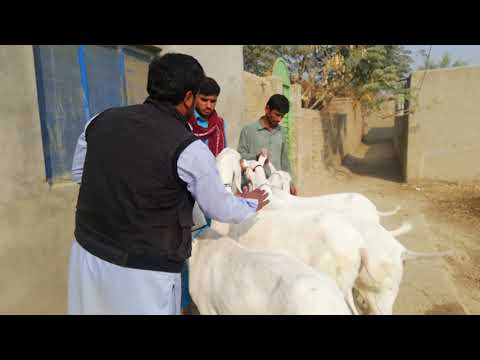 Aati Jaati Khubsoortiyan in Lahore Bakra Mandi for Qurbani