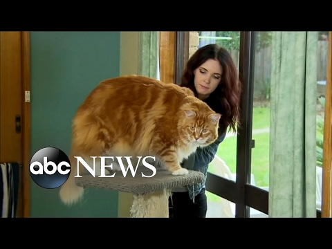 omar the maine coon could be guinness world records longest cat