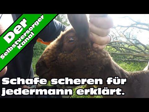 Schafe scheren für Dummies erklärt