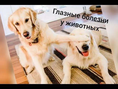 Глазные болезни у животных//СИМПТОМЫ/ЛЕЧЕНИЕ