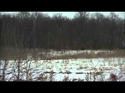 Coyote Hunt With Hounds Stark Outdoors