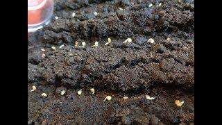 Семена кабачков не проклевываются