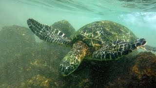 preview picture of video 'Green Sea Turtle Eating In Hawaii'