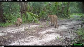 Florida Wild Cats Struggle to Walk Due to Unknown Disorder